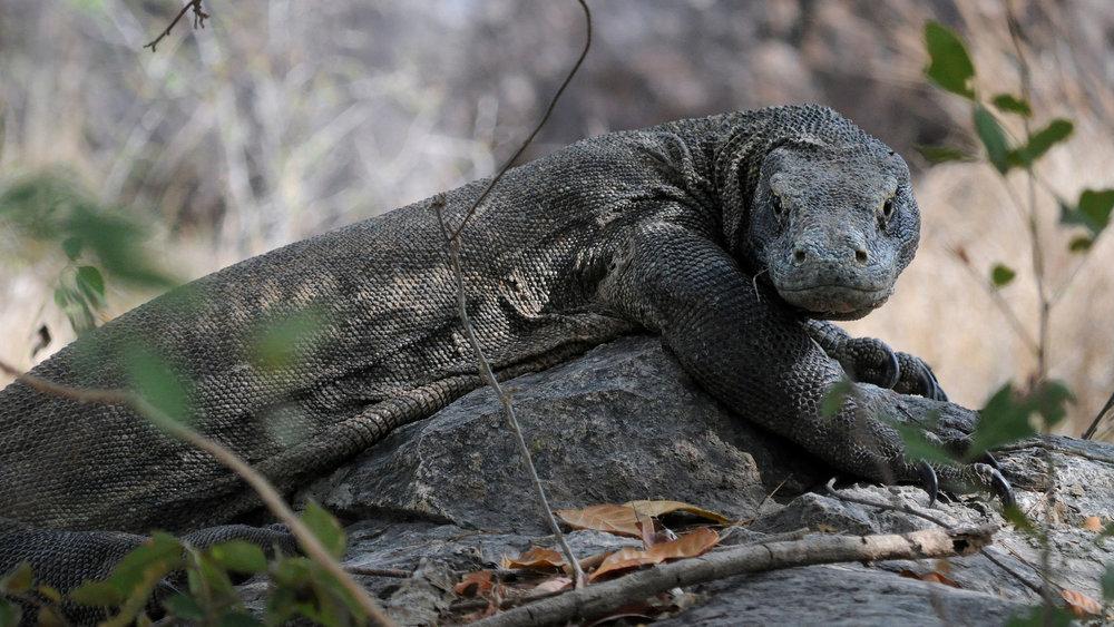 rinca island - komodo dragon - open trip labuan bajo